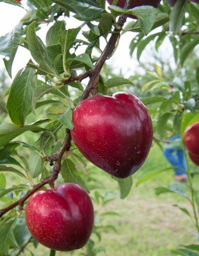 Fruit_Caline_helvetibox